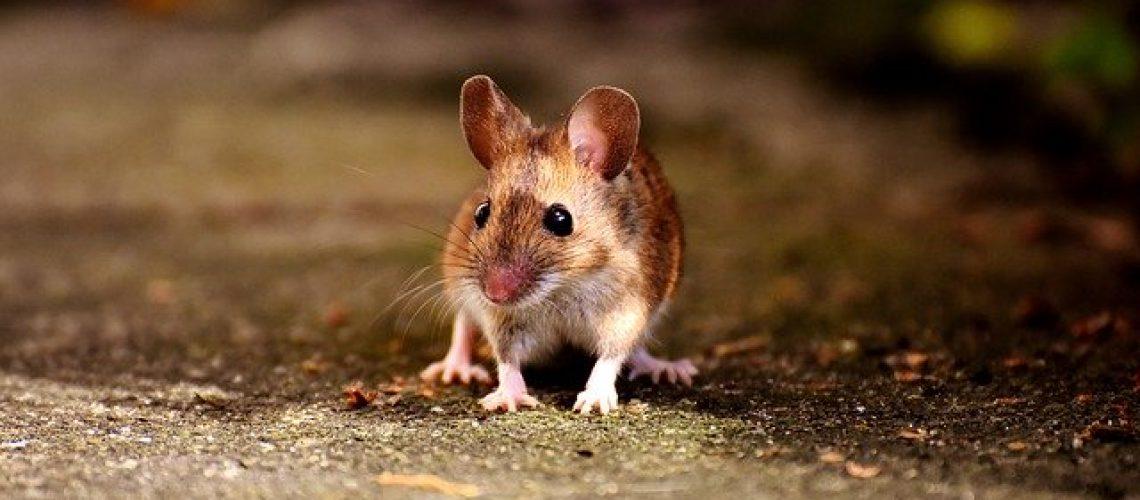 עכברים בבית
